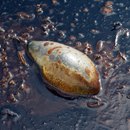 A dead jellyfish floats amid oil