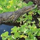 Photo: Florida crocodiles: Man-eating Nile beasts confirmed in swamps